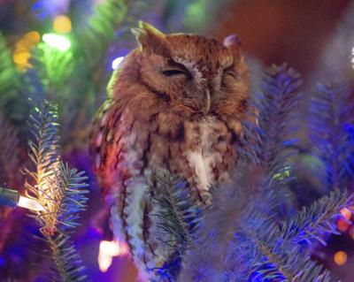 ODD Owl in Christmas Tree