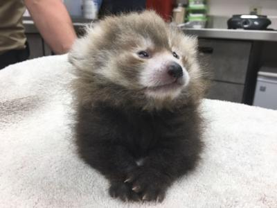 Red Panda cub at IF Zoo