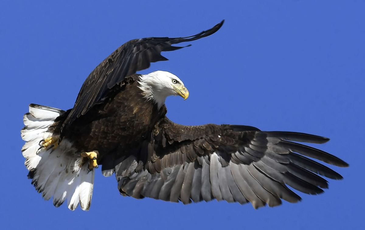 Bald eagle spotted in greater numbers at Bear Lake recently