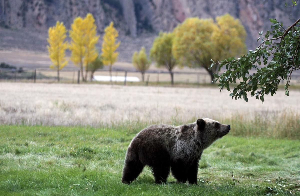 Montana man dies after bear mauling near West Yellowstone