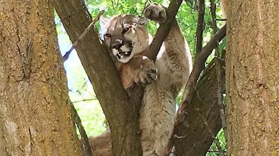 Cougar Banida