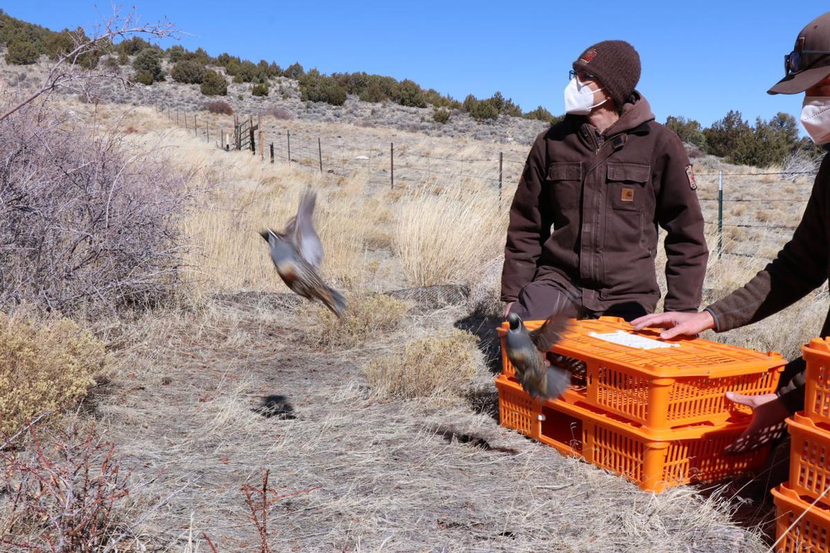 quail release 1