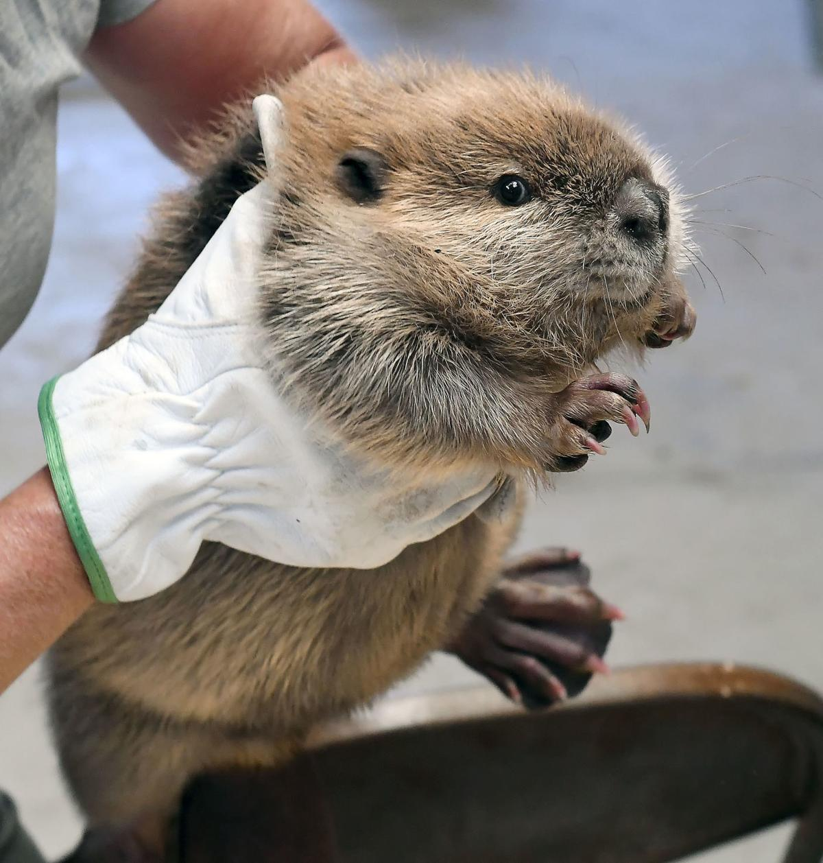 beaver SECONDARY