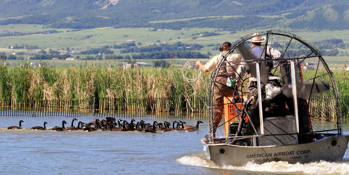 DWR Geese Banding