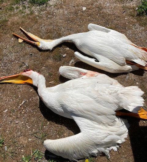 shot_pelicans_on_ground_preston_2021.jpg