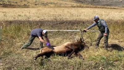 Elk rescue