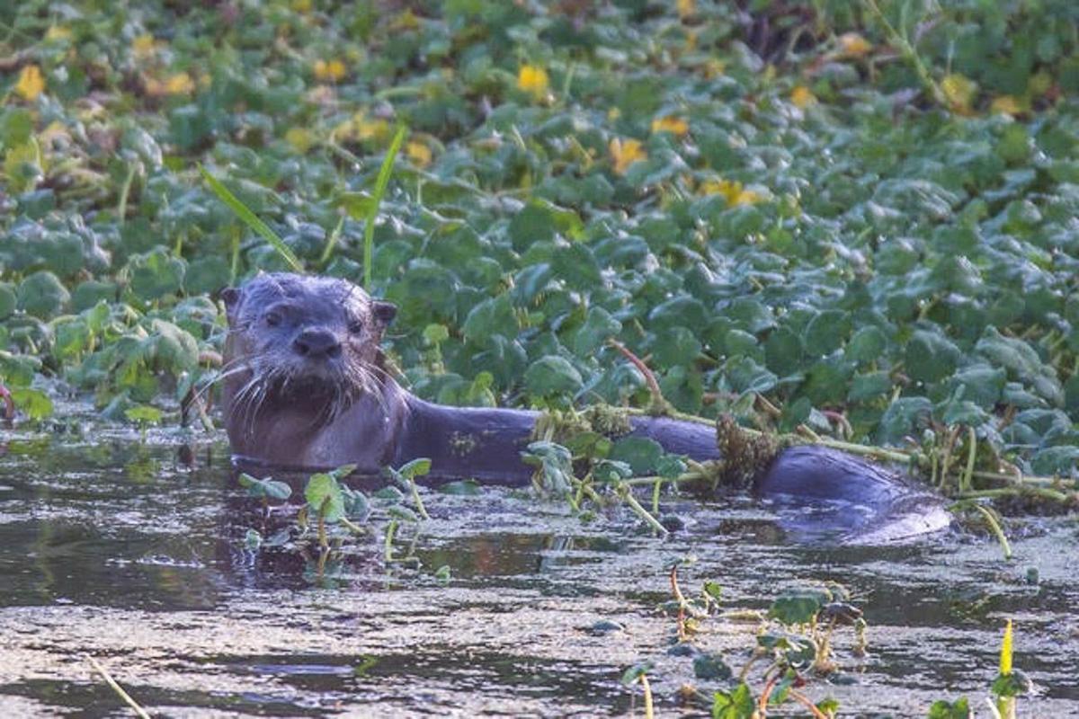 Otters making a comeback