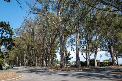 Eucalyptus along Avenue Cabrillo