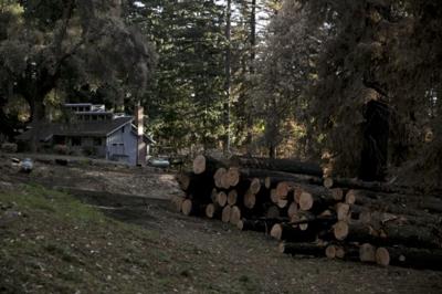 Cut Trees in Bonny Doon