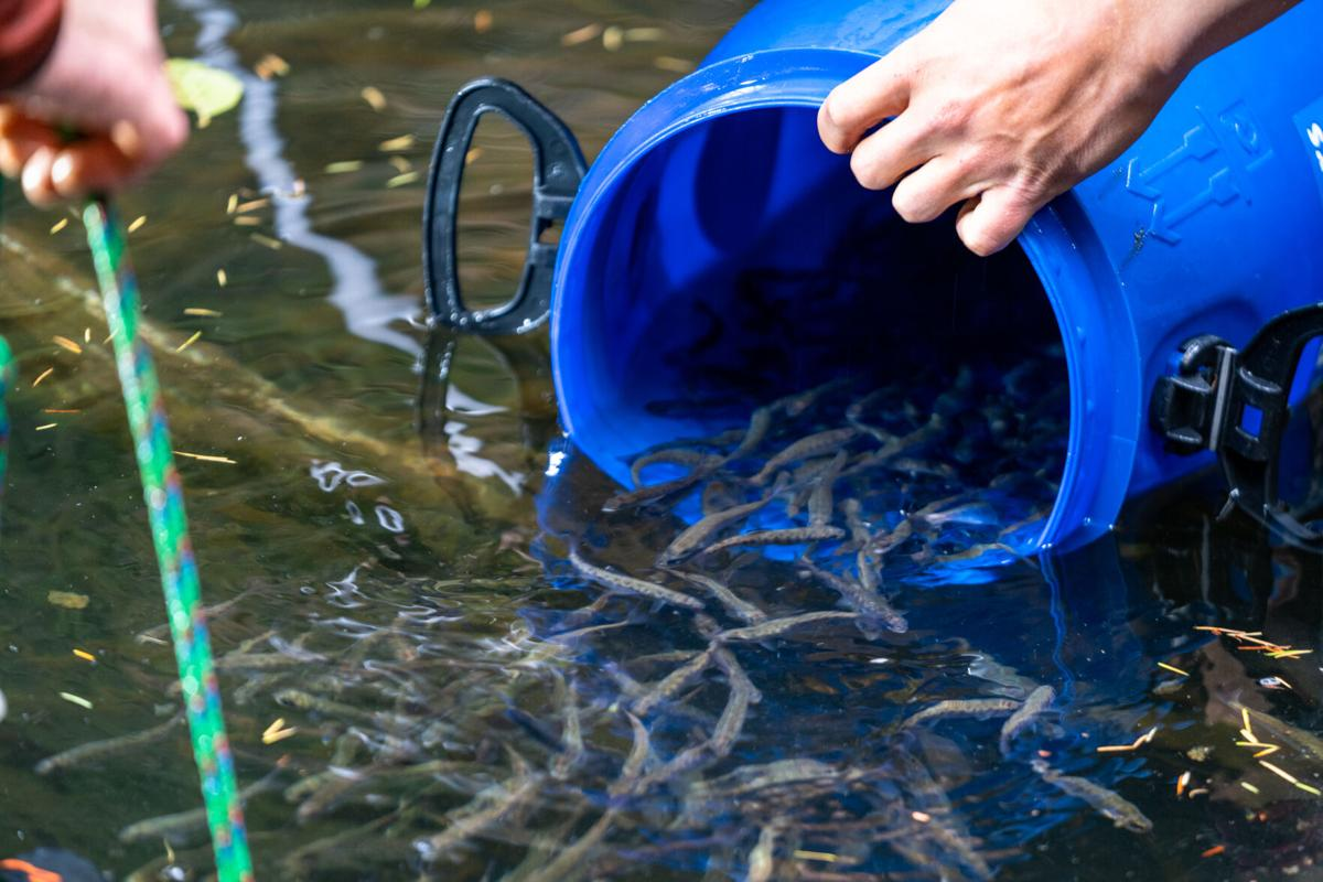 Coho Salmon Release into Creek