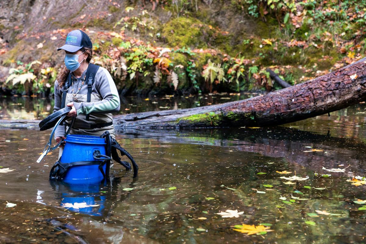 Coho Salmon release in Creek