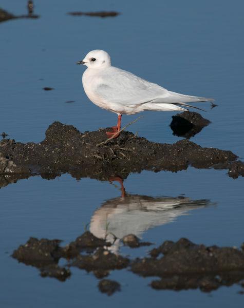 Ross's gull sighting