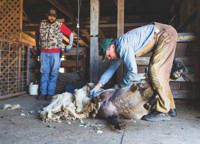 image-sheep to shawl