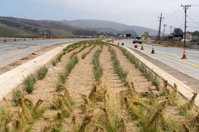 Median at Highway 1 and Main Street Landscaping