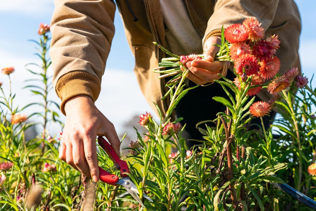 Harvesting flowers at Lunaria Farms