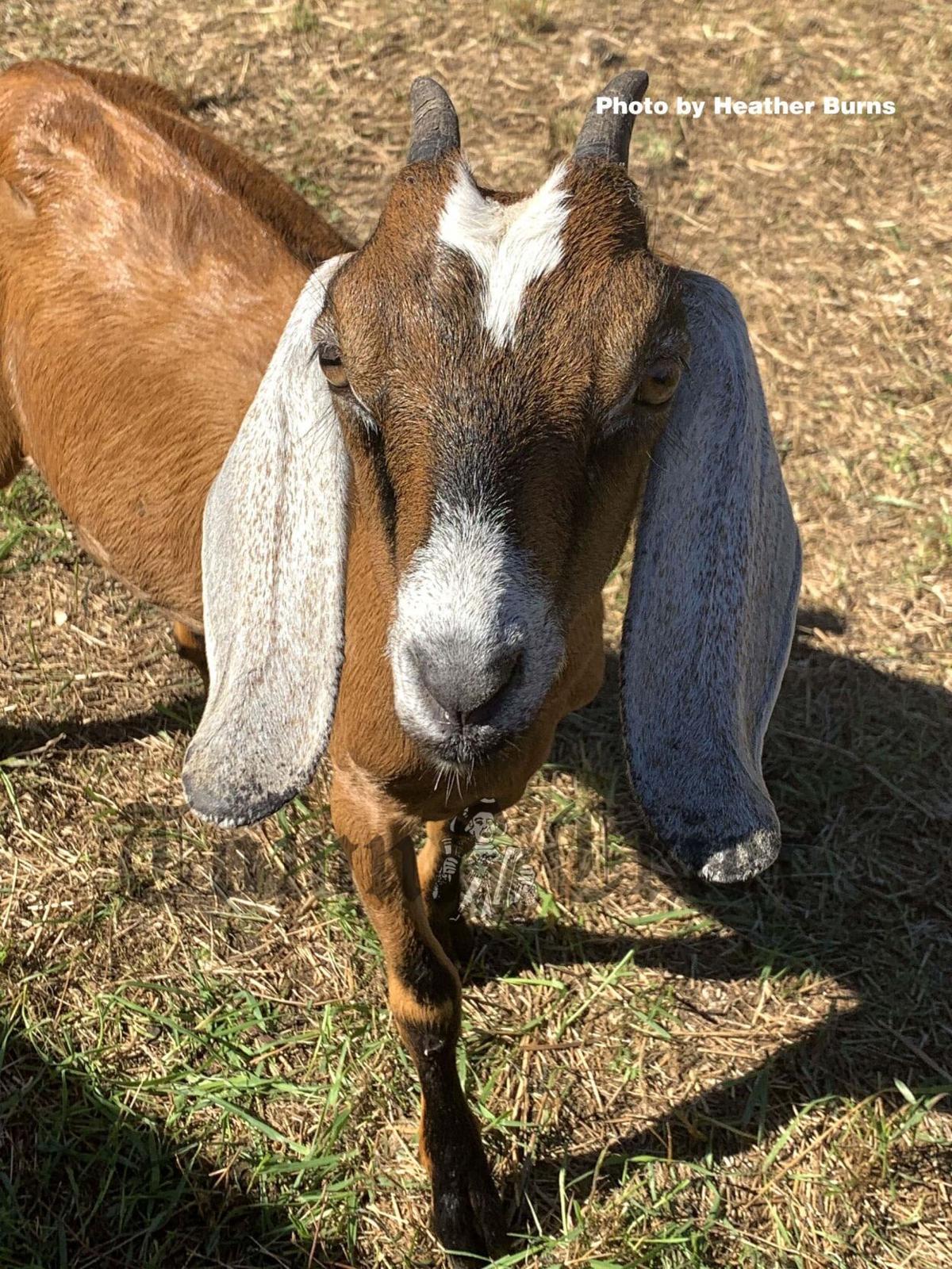 Pet the goats at the Pumpkin Festival