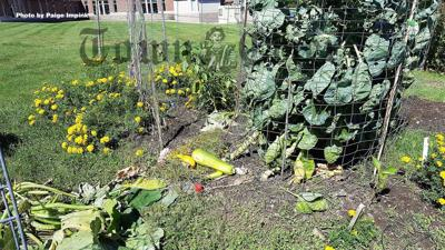 Garden vegetables and plants lay scattered amongst trampled fencing at the Tewksbury Community Garden
