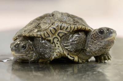 ODD Two-Headed Turtle