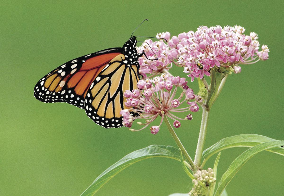 Monarch and milkweed - USFW