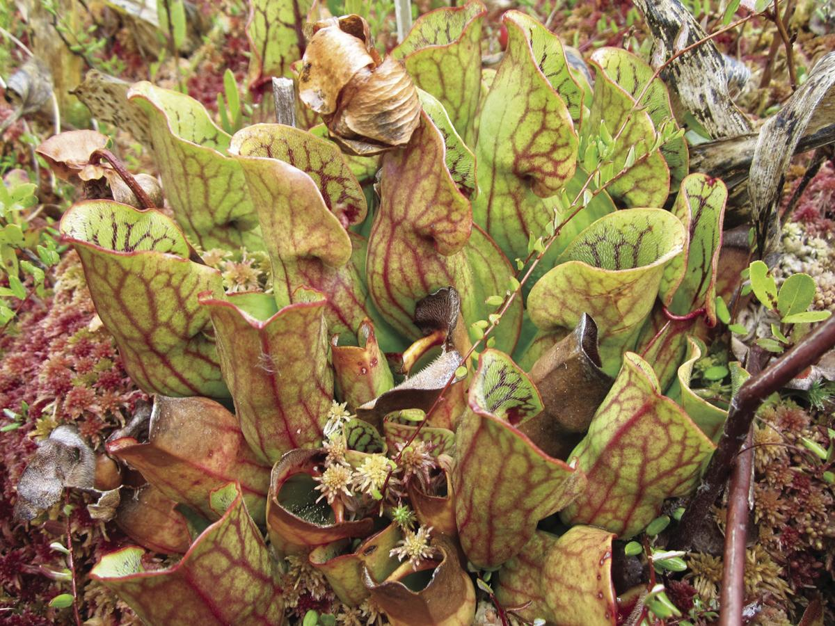 pitcher plants at Big Bog.jpg