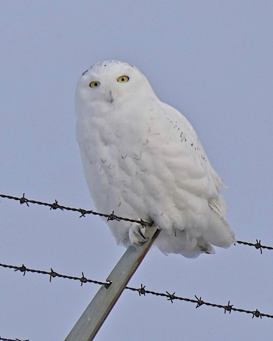 Talking nature snowy owls at the msp airport abc newspapers snowy owl biocorpaavc Choice Image