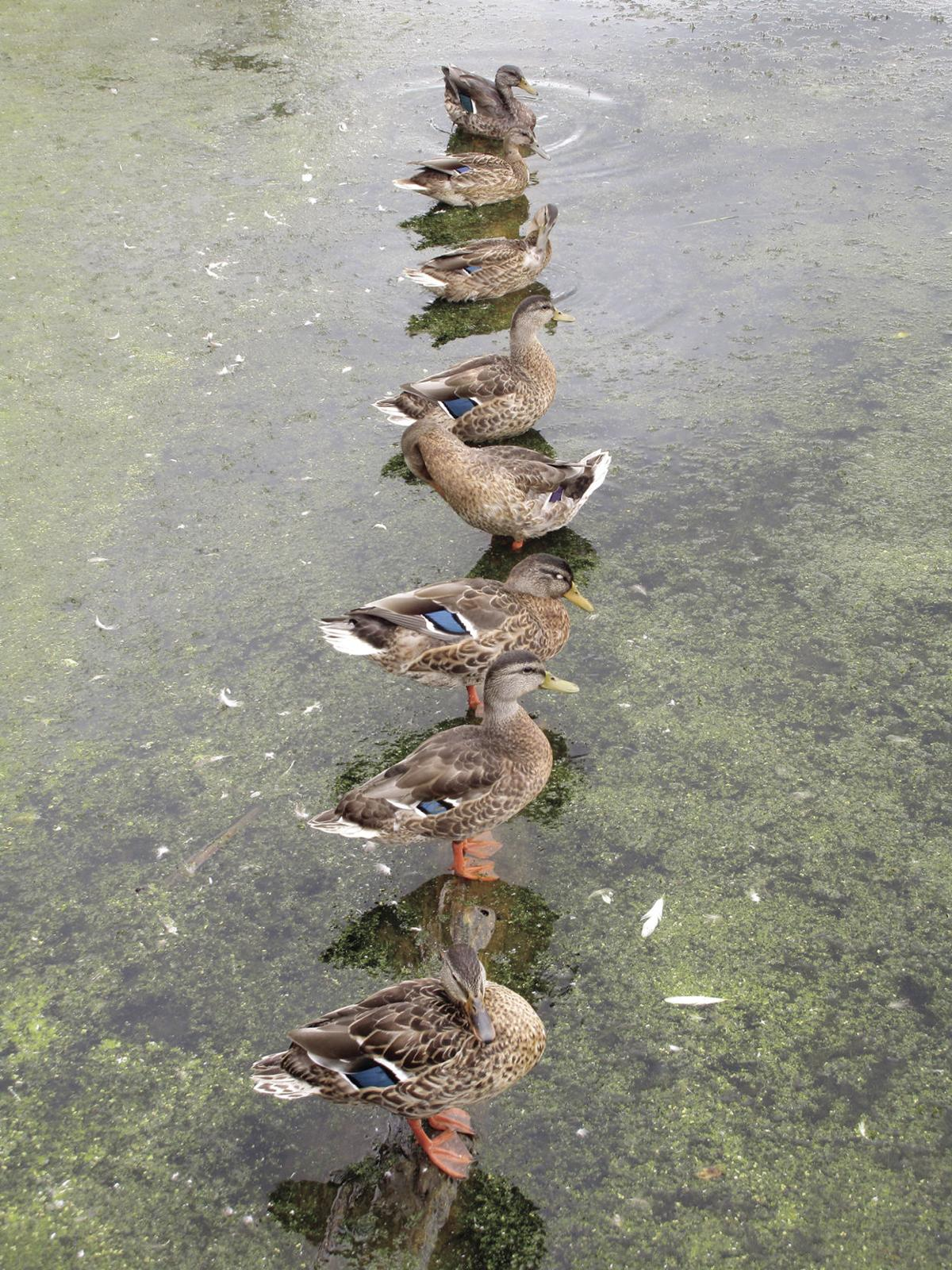 St. Louis Park nature center gets its ducks in a row (photos) - 1