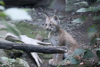 all zoo lynx web.jpg