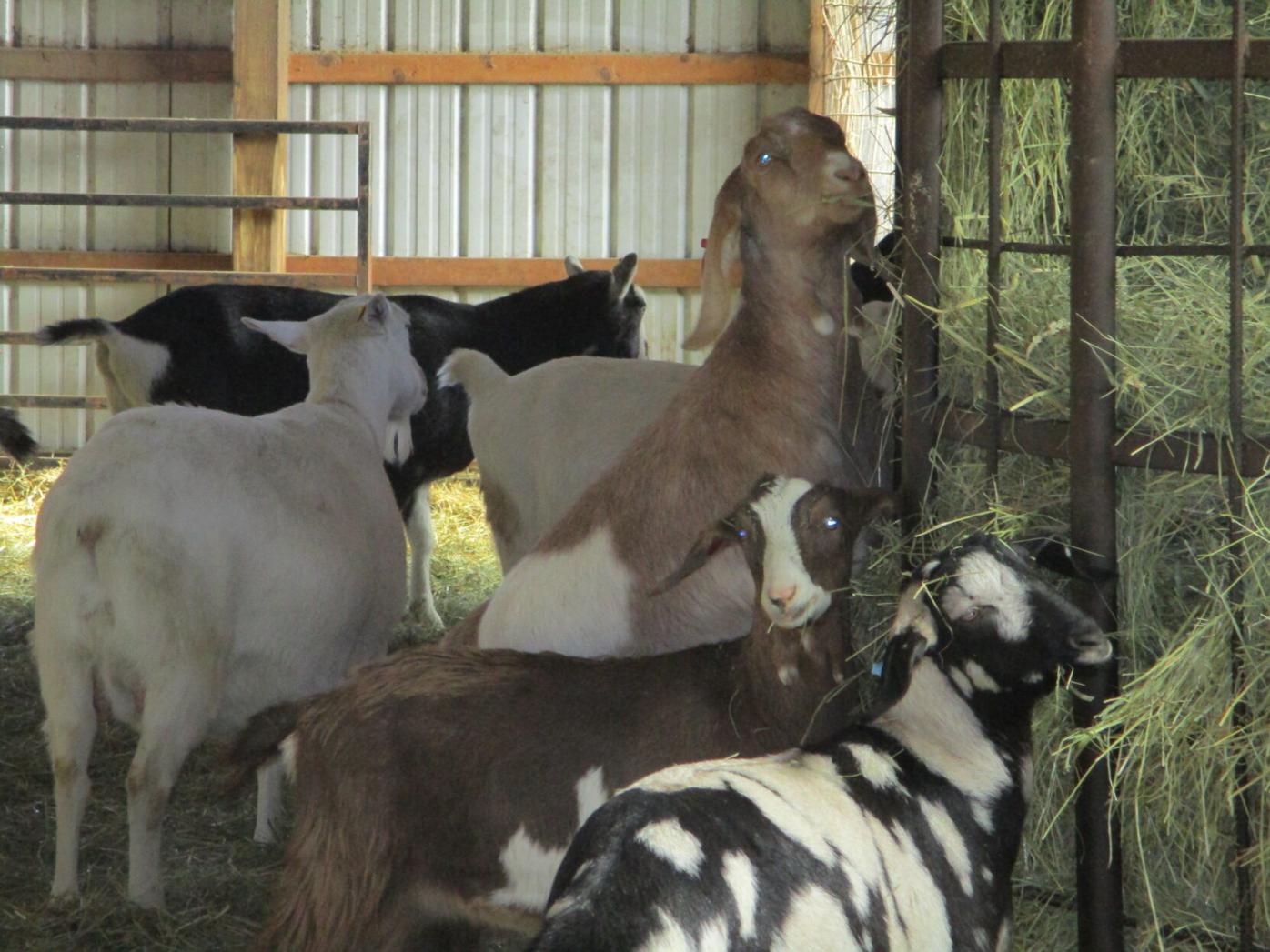 Eichers goats.JPG