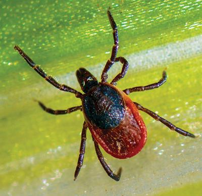 No cure or treatment available for another tick-borne disease, the Powassan virus