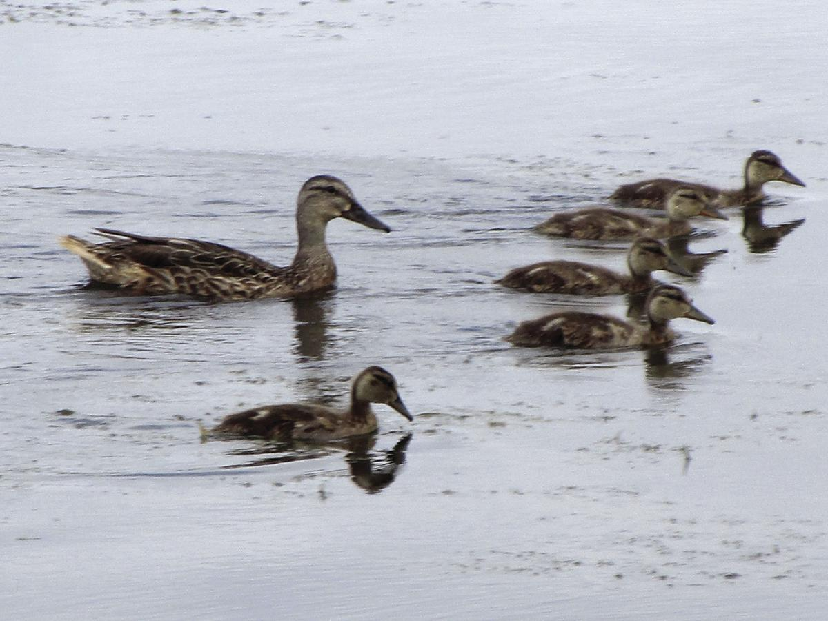 St. Louis Park nature center gets its ducks in a row (photos) - 2