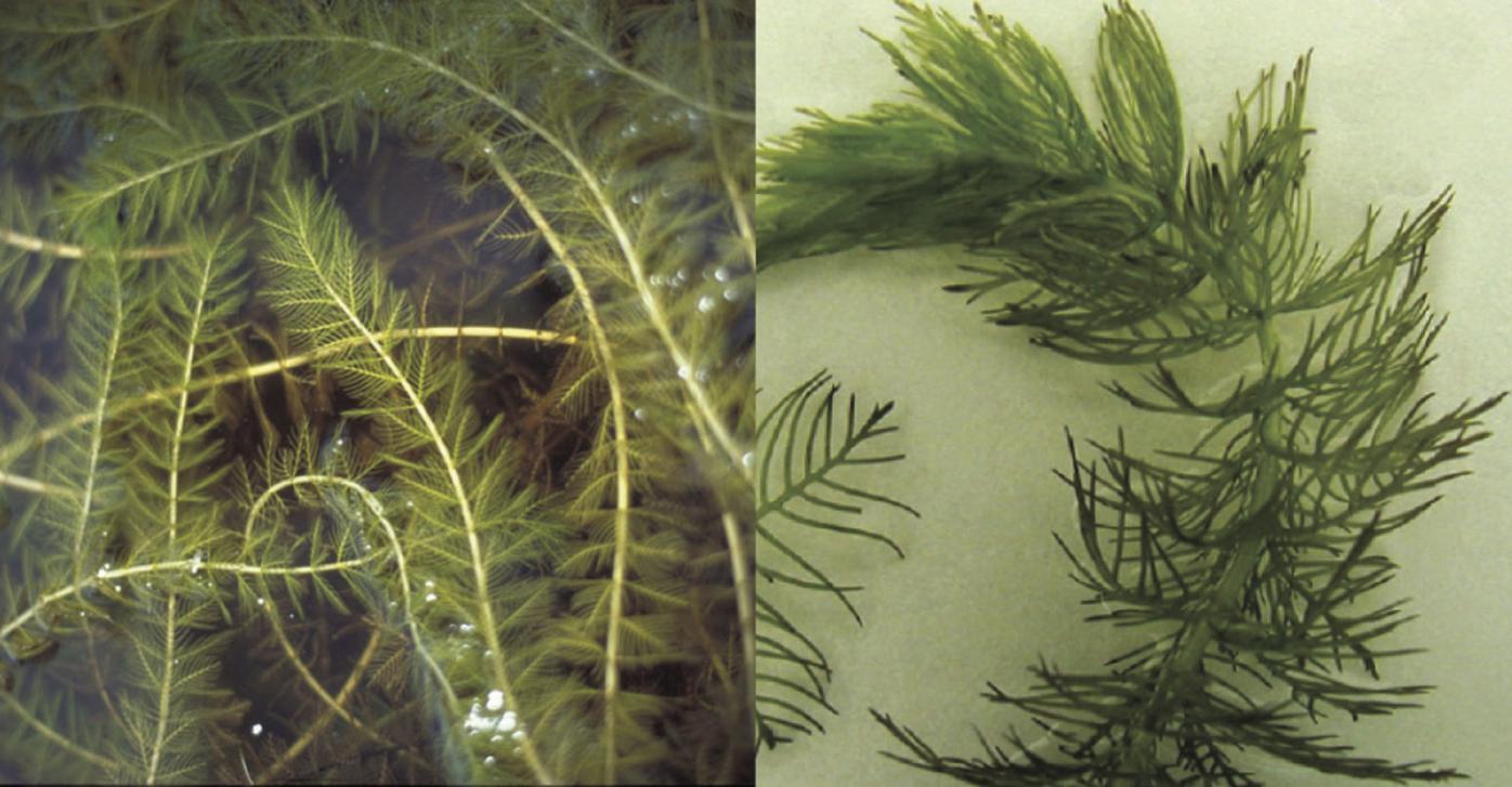 Eurasian watermilfoil vs native northern milfoil.jpg