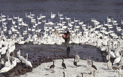 Swan feeding discontinued
