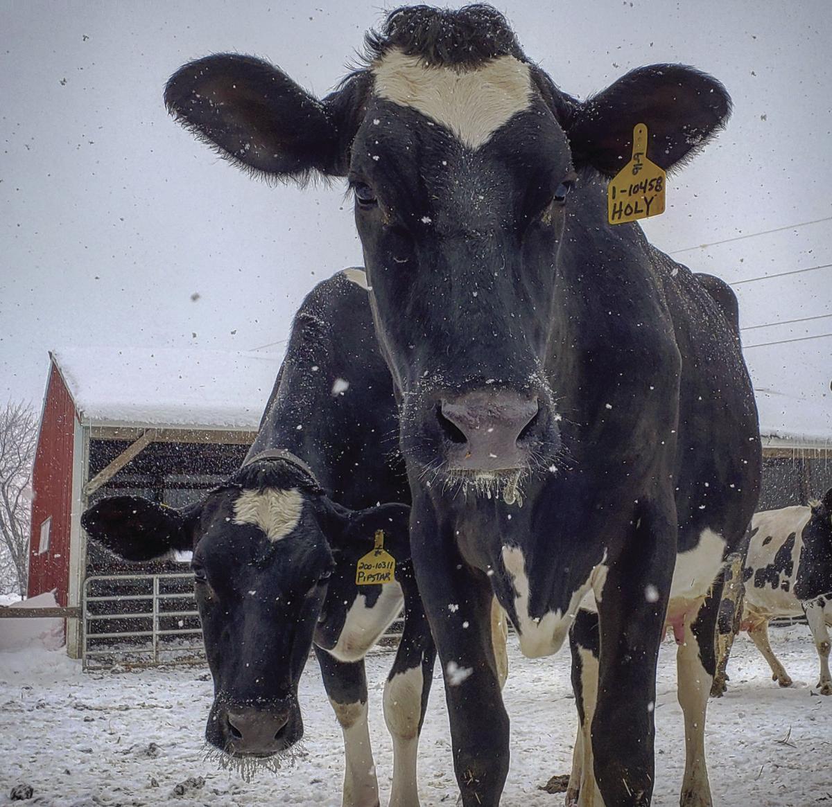Leonard cows.jpg