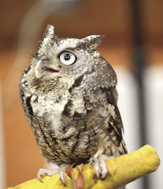 Eastern Screech Owl Hometownsource Com