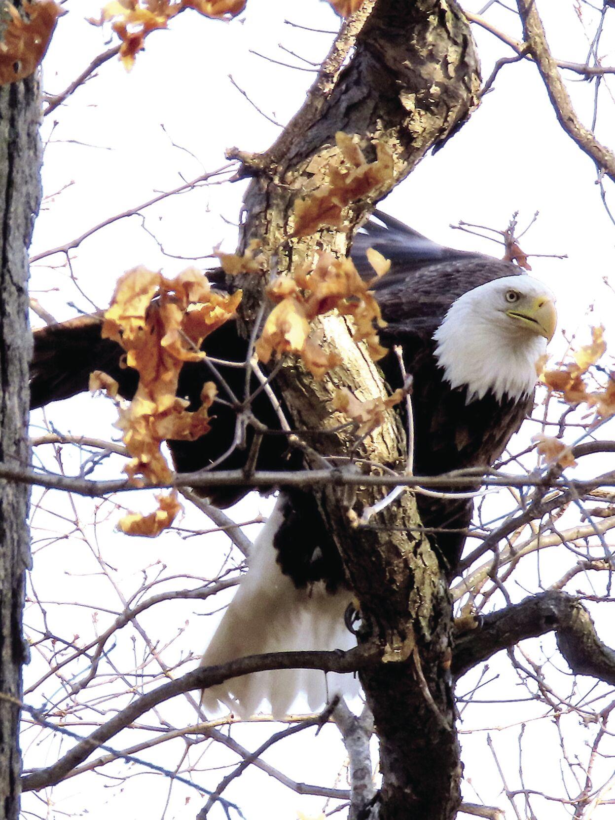 Bald Eagle  IMG_3893_p-1.jpg