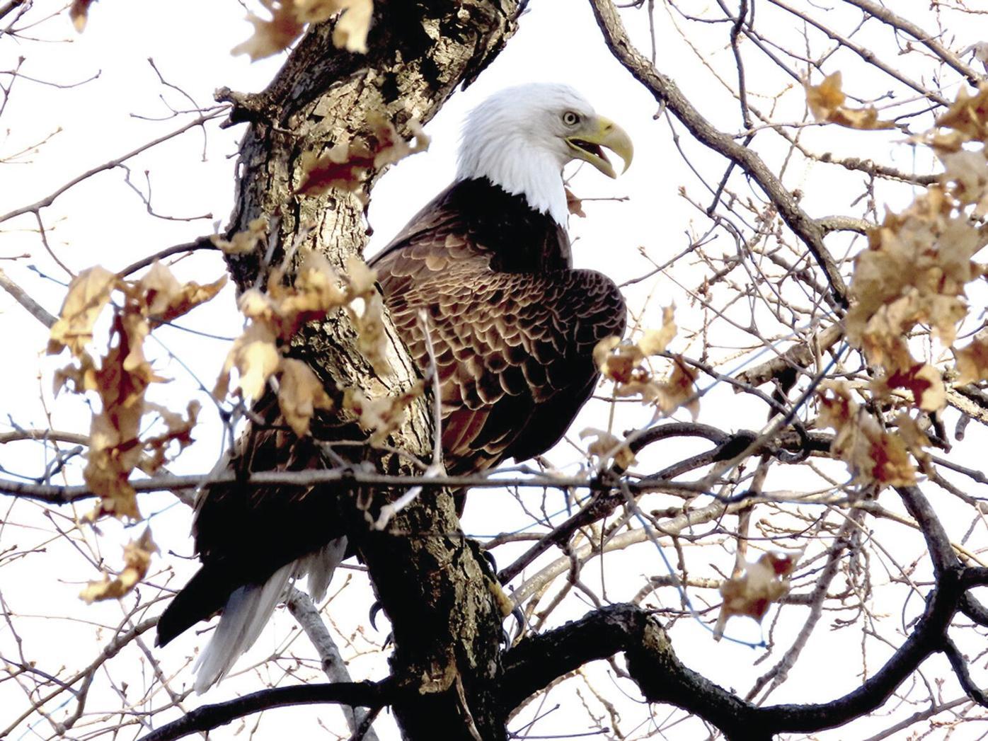 Bald Eagle  IMG_3900_p-3.jpg
