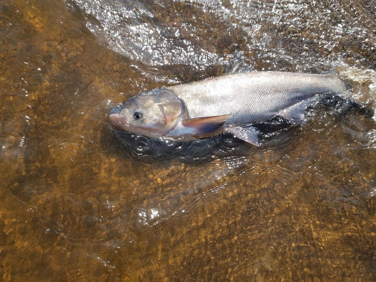 DNR reports first discovery of invasive silver carp in St. Croix River