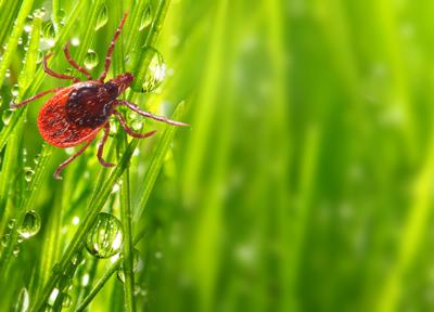 Tick on green grass. Dangerous parasite. This animal is vehicle of many infections. Picture with copy space.
