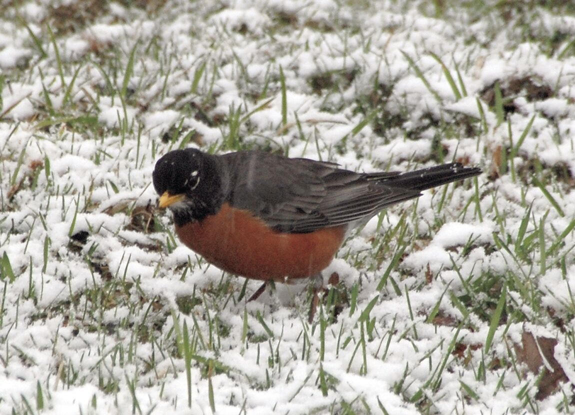 1 robin hunting snow worms.jpg