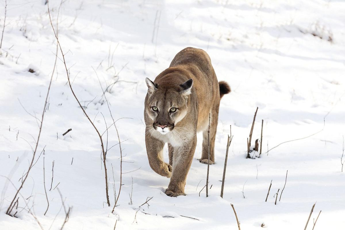 The cougars  that roam