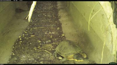 Blanding's turtle in tunnel below Hwy 4.jpg