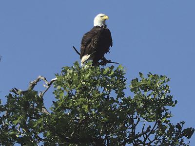 Bald eagle refuge.jpg