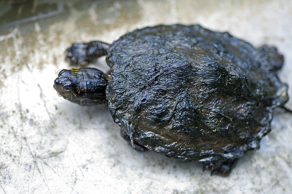Oil-covered turtle