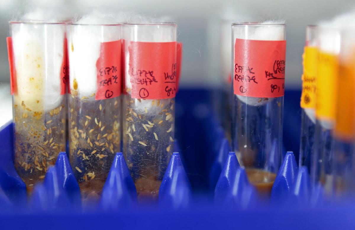 Fruit flies in test tubes