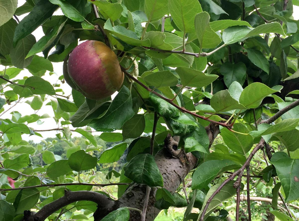 Local Orchard Owners Embracing Eat Ugly Apples Campaign