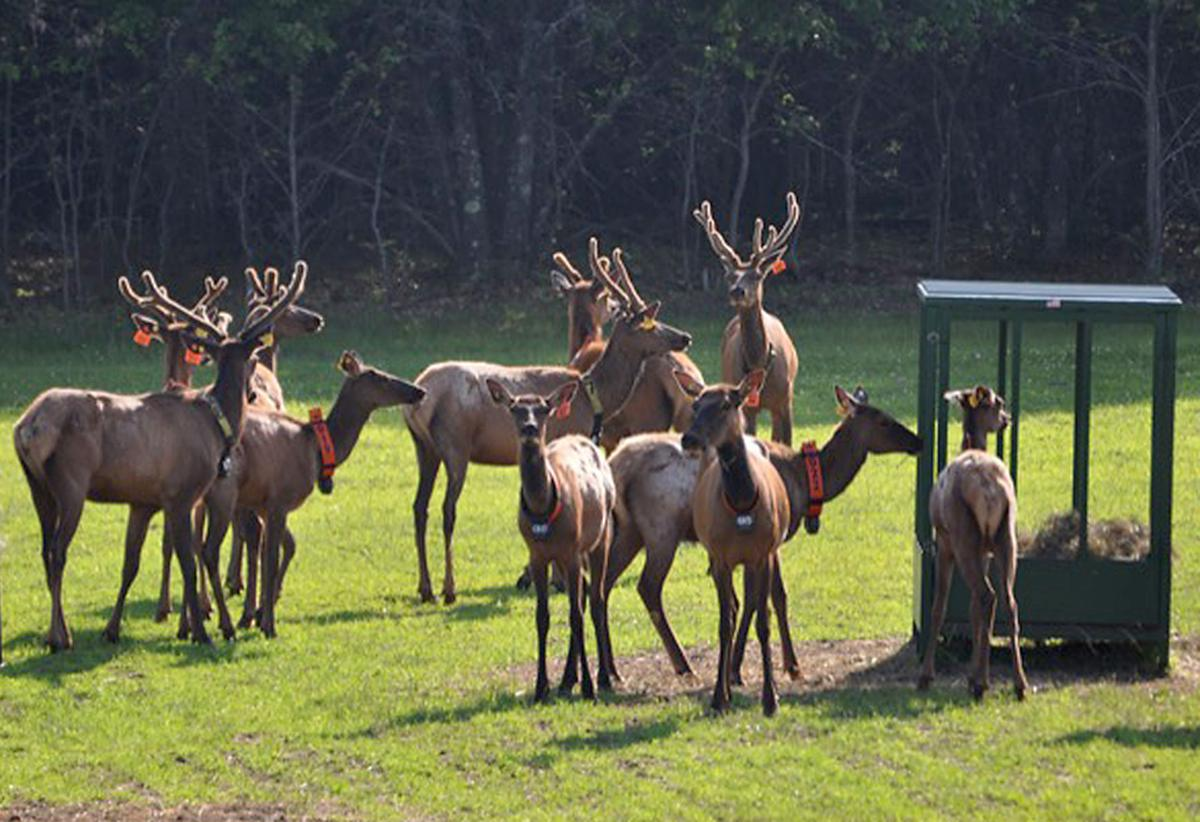 Elk Reintroduction