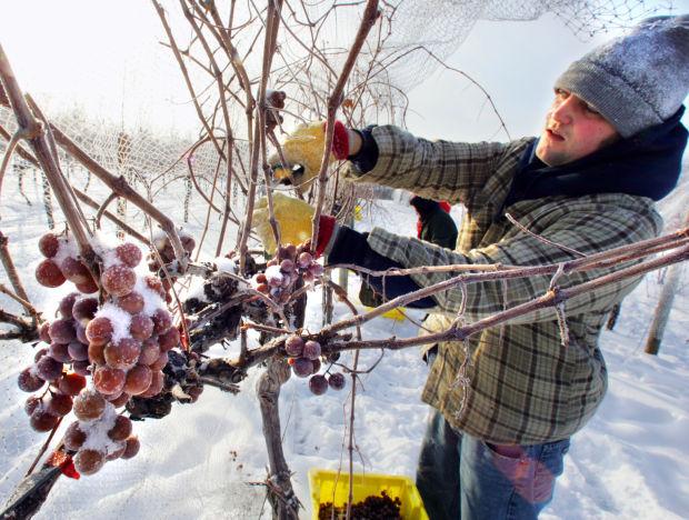 State wine-Picking St. Pepin grapes