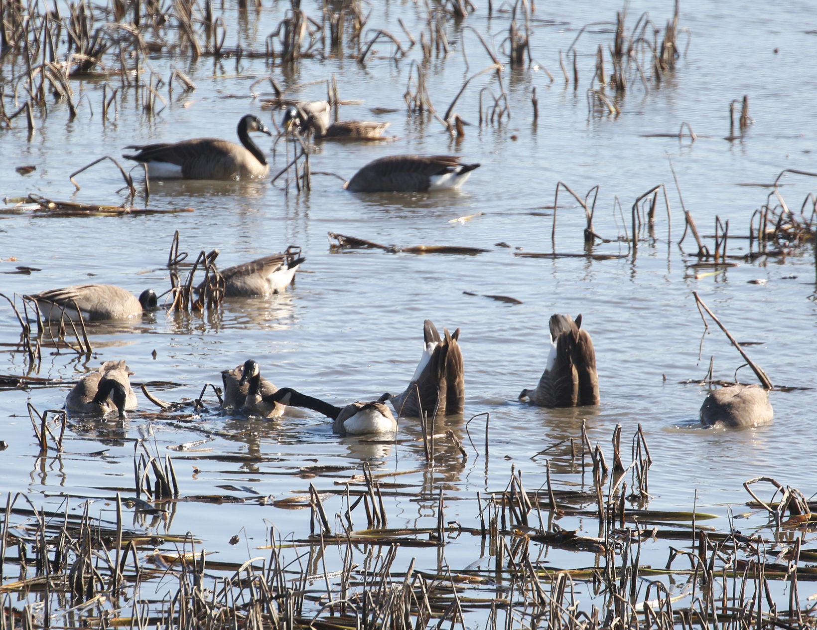 Waterfowl In Wisconsin