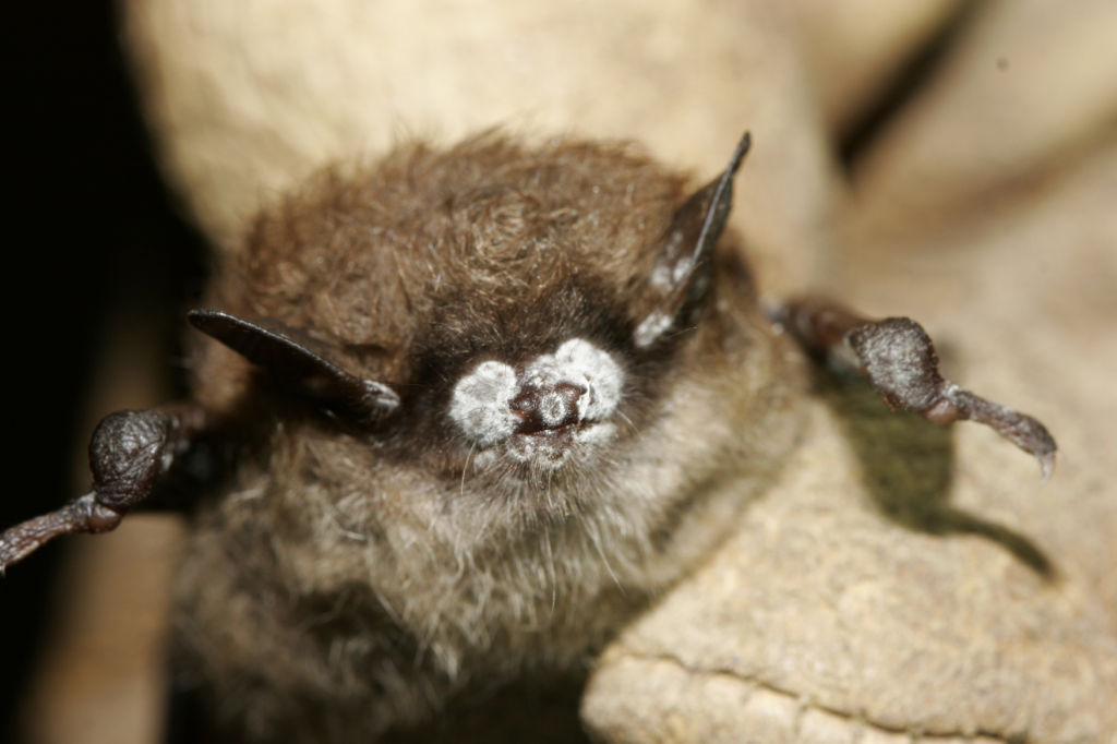 Bat with white-nose syndrome, AP photo