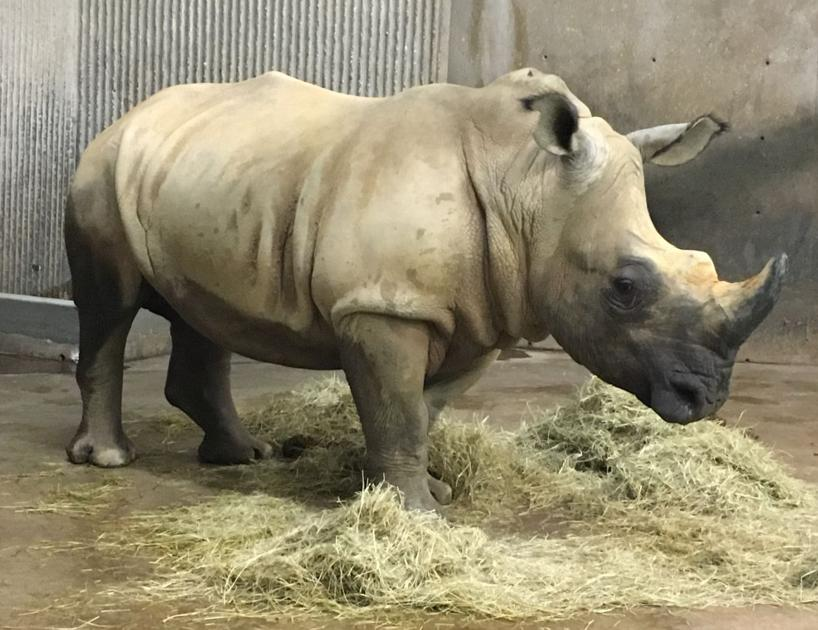 Harmon The White Rhino Rumbles Into Vilas Zoo Local News